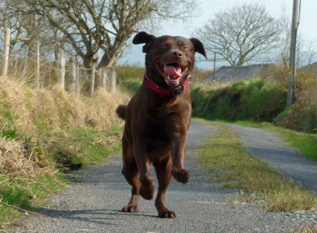 Chocolate Labrador happily running down road